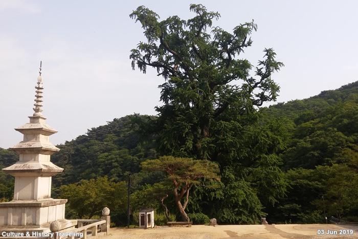 양평 용문사 은행나무 20190603-05