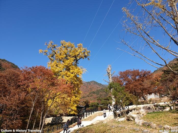 양평 용문사 은행나무 20191109-11