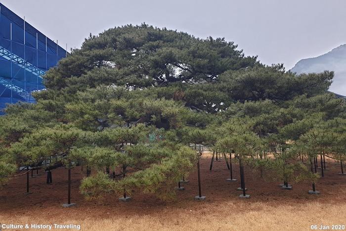청도 운문사 처진소나무 02-20200106