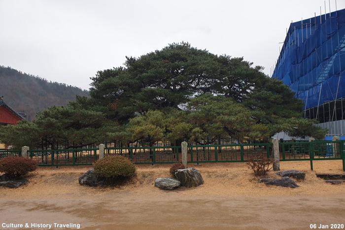 청도 운문사 처진소나무 03-20200106